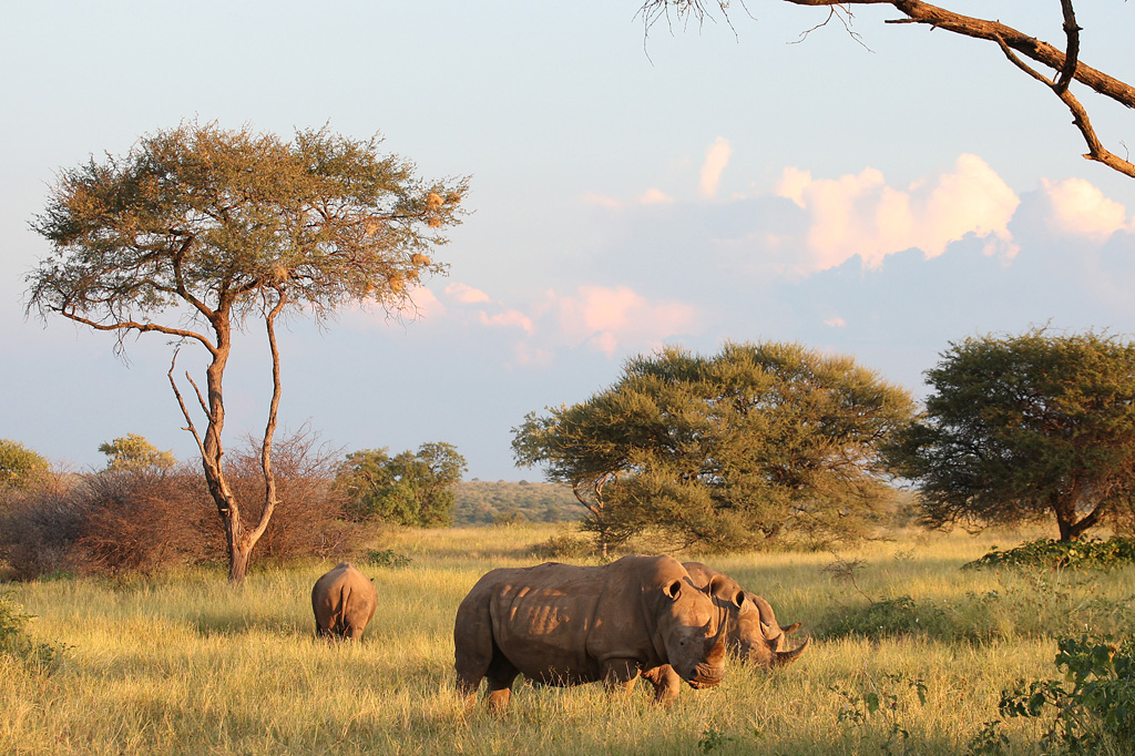 Rhino poaching at Wabi