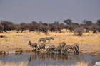 Group of zebra at waterhole